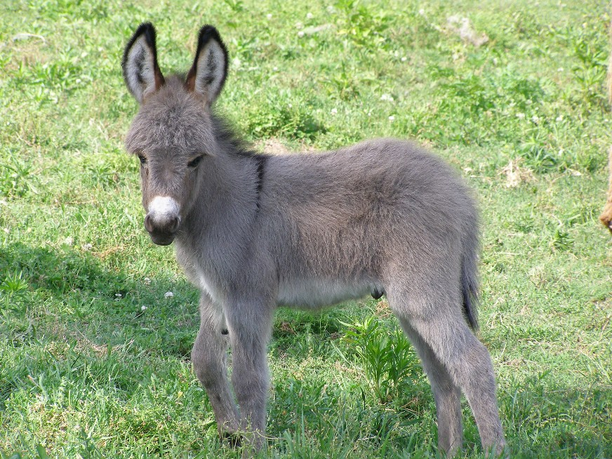Cute Baby Mini Donkeys